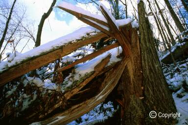 Snapped tulip poplar in collapsed cove