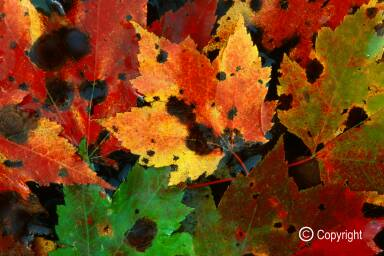 Ozone-damaged red maple leaves, floating in Coal River