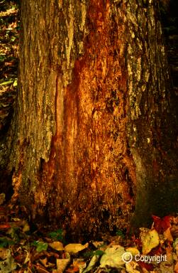 Diseased base of tightbark hickory trunk, Rock Creek
