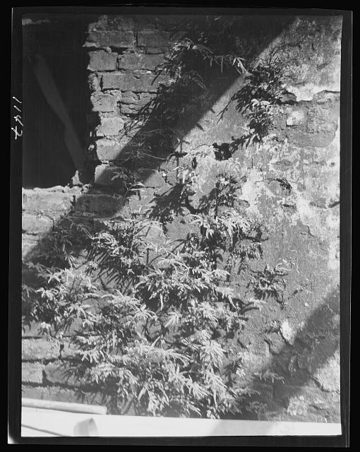 Ferns growing in a wall, New Orleans or Charleston, South Carolina