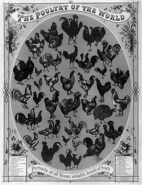 The poultry of the world--Portraits of all known valuable breeds of fowls