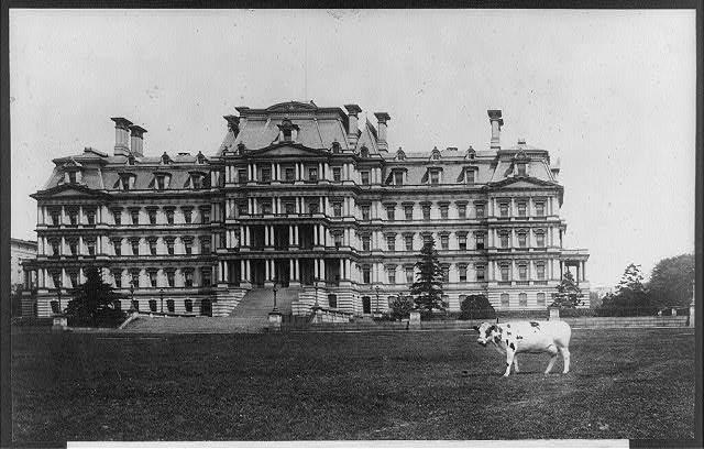 "Pres. Taft's cow, ""Pauline Wayne,"" grazing on the lawn on of the State, War, and Navy Bldg."