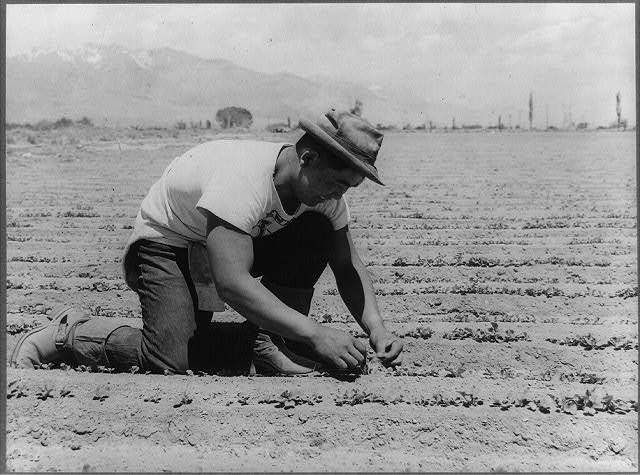 Manzanar, Calif., June 1942 - Ichiro Okumura, 22, from Venice, Calif., thinning young plants in a 2-acre field of white radishes...