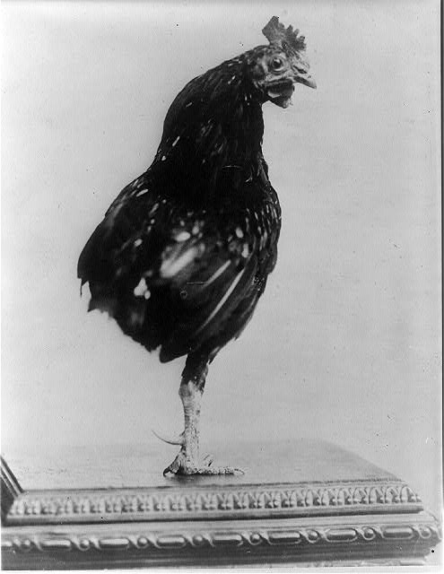 [Theodore Roosevelt's pet one-legged rooster]