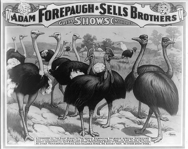 Adam Forepaugh & Sells Brothers great shows consolidated A congress of the giant birds of the world, ...