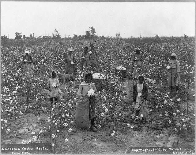 Black and white photo of Black cotton pickers in a cotton field, ca. 1907