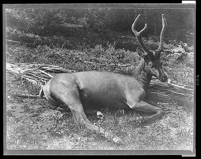 [Elk with velvet on its antlers, lying down, Yellowstone National Park]
