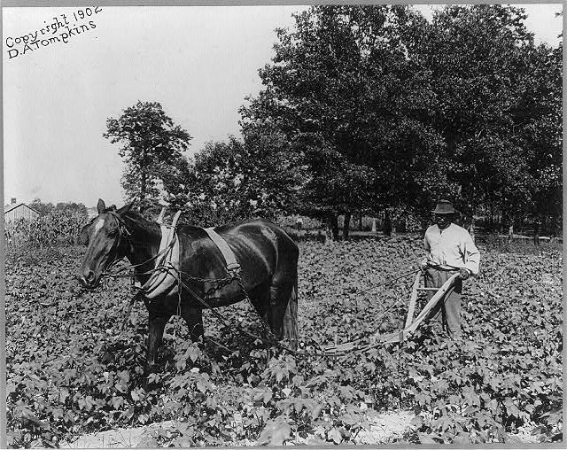 [African American man with horse cultivating cotton with plow, N.C.]