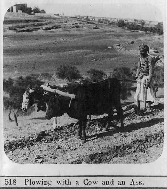 [Man plowing with a cow and an ass, Palestine]