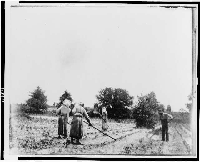 [Three women and one man hoeing in field]