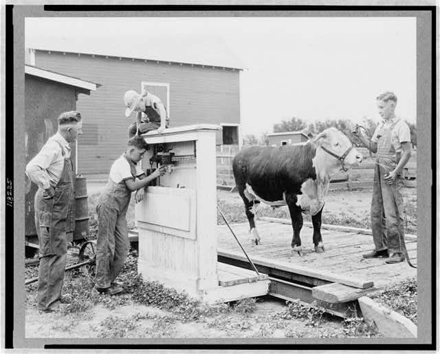 Seward county, Nebr.--July 1938--Four-H club member has his baby beef weighed every month