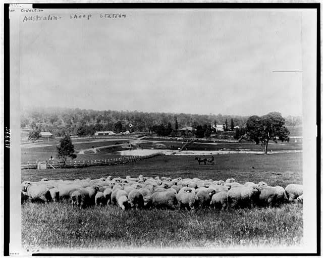 [Sheep at sheep station; houses and woods in background, Australia]