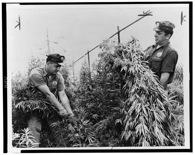 [Sanitation Department workers, Sal Tusa and John Ceffalia, weeding growth of marijuana in a lot on Cozine Avenue near Miller Avenue]