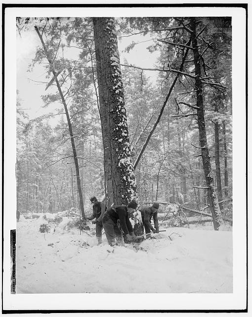 Logging, felling the tree