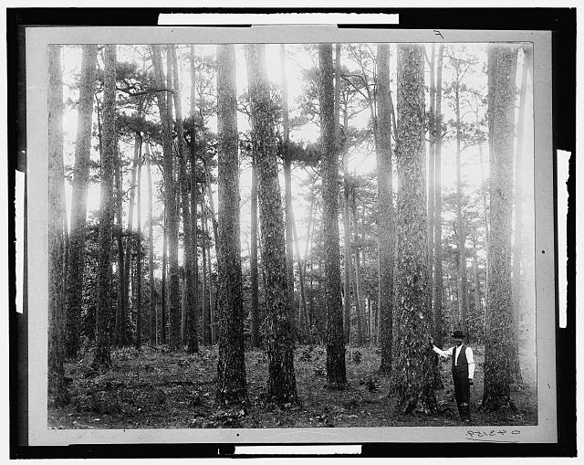 [A Virgin pine forest, Keystone Lumber Company]