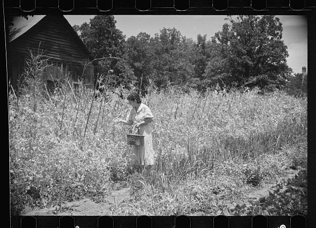 Rehabilitation client picking English peas on farm near Batesville, Arkansas