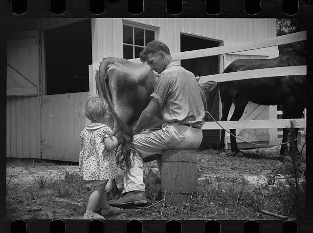 [Untitled photo, possibly related to: Examining soil in cornfield, Penderlea Homesteads, North Carolina]