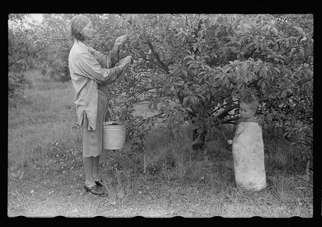 Migrant woman picking cherries, Berrien County, Mich.