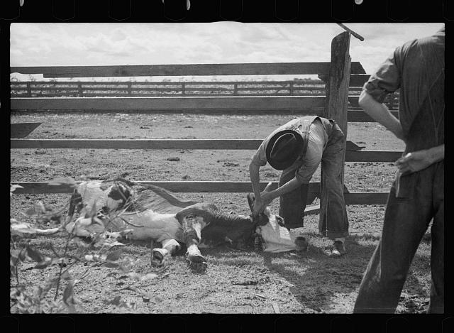 [Untitled photo, possibly related to: Slaughtering a bull, Grady County, Georgia]