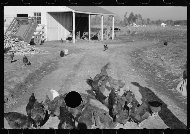 [Untitled photo, possibly related to: Zeb Atkinson, homesteader, Penderlea Farms, North Carolina]