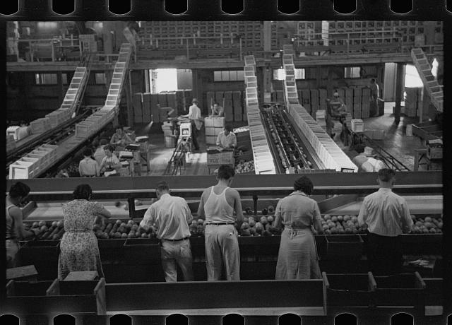 [Untitled photo, possibly related to: Packing fruit in the packinghouse at Fort Pierce, Florida]