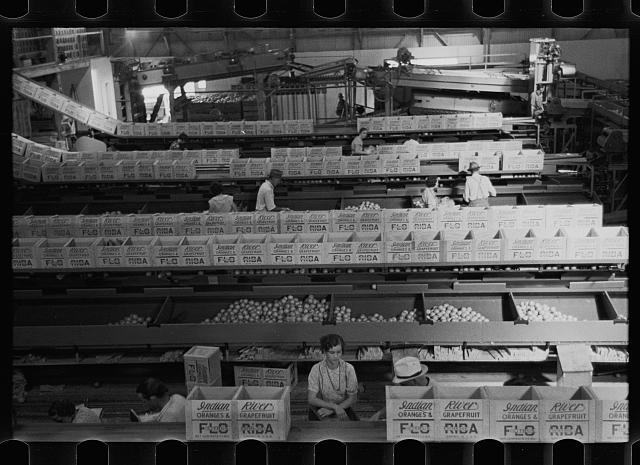 Packing fruit in association packinghouse at Fort Pierce, Florida. Some migratory labor is employed here