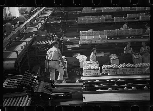Scene in the fruit packing plant at Fort Pierce, Florida