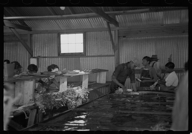 [Untitled photo, possibly related to: Packing celery at Sanford, Florida. Many of these workers here are migrants]