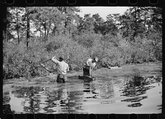 Gathering cranberries that are floating on the surface of a flooded bog, Burlington County, New Jersey