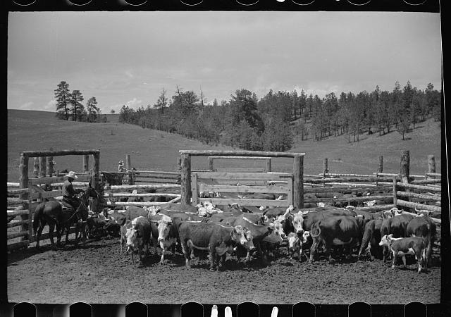 [Untitled photo, possibly related to: Three Circle roundup, in corral, at Custer National Forest, Montana]