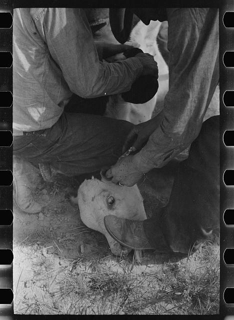 [Untitled photo, possibly related to: Cowhands working on a calf, Quarter Circle U roundup Montana]
