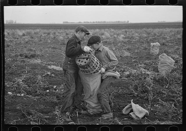 Children working in the potato fields near East Grand Forks, Minnesota