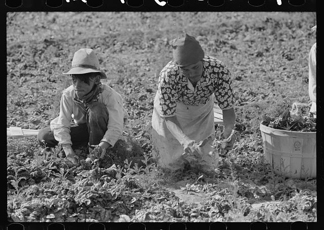 Mexican mother and son cutting spinach, La Pryor, Texas