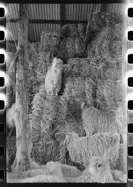 [Untitled photo, possibly related to: Goats in the hay barn on ranch of rehabilitation borrower in Kimble County, Texas]
