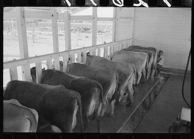 Part of the fine dairy herd at the Arizona Part-Time Farms, Chandler Unit, Maricopa County, Arizona