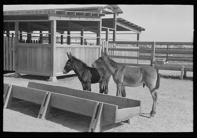 Mule colts, Tom and Jerry, at the Casa Grande Valley Farms, Pinal County, Arizona