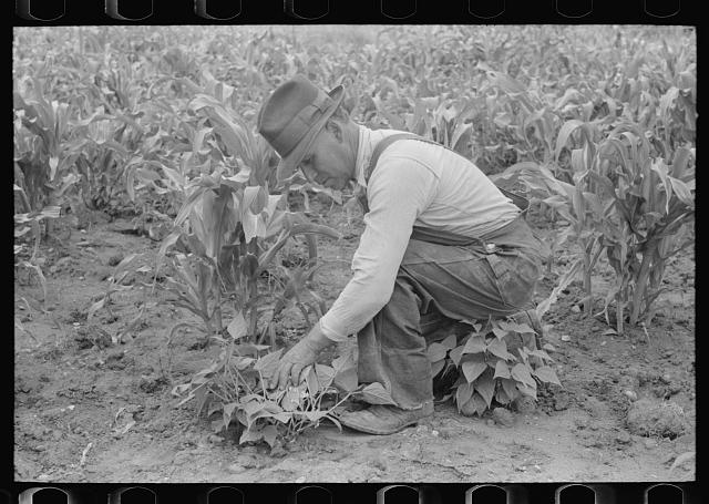 Corn and beans are grown by the Spanish-Americans at Chamisal, New Mexico