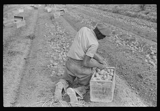 Migratory labor digging potatoes, season very bad, market poor, left potatoes in ground as long as possible, hoping for rise in prices. Often not worth digging, left to rot in ground. Near Homestead, Florida