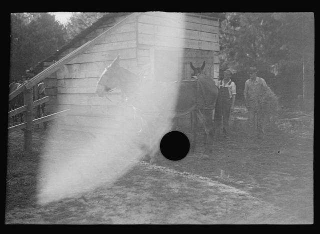 [Untitled photo, possibly related to: Floyd Burroughs, on mule, Hale County, Alabama]