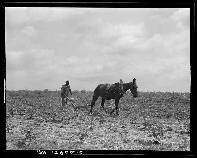The cotton sharecropper's unit is one mule and the land he can cultivate with a one-horse plow. Greene County, Georgia