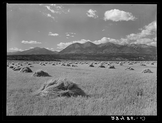 Shocks of grain at foothills of Rocky Mountains. Fremont County, Colorado