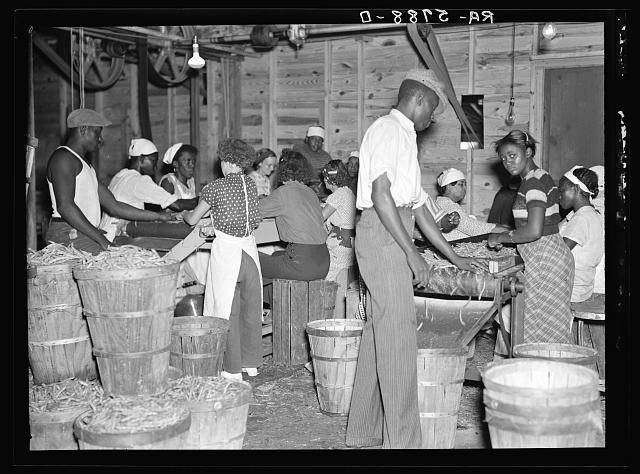 Canning plant employees grading beans. Dania, Florida. Many of these workers are migrants