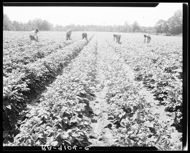 Hightstown, New Jersey. The homesteaders of the farm group are proud of their straight potato row. They have raised very successful crops. The farm was started in 1934