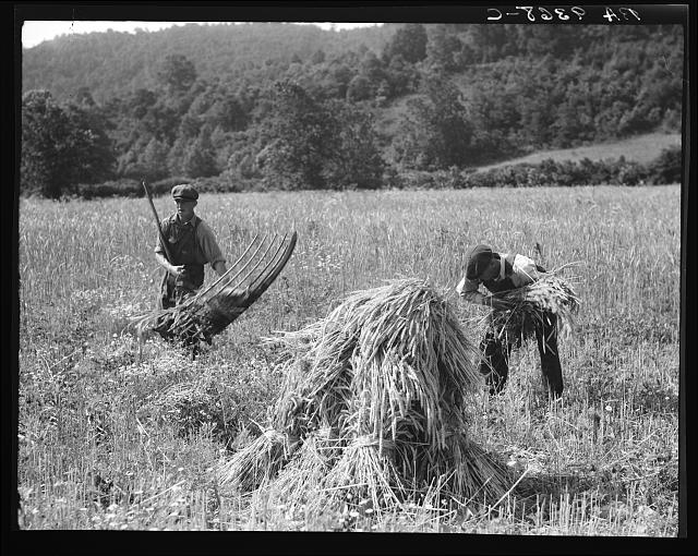 "Cradling wheat near Sperryville, Virginia. A hand binder follows the mower. These men had never heard of a combine harvester. ""Sure would like to see that."" Their father used a reap hook"