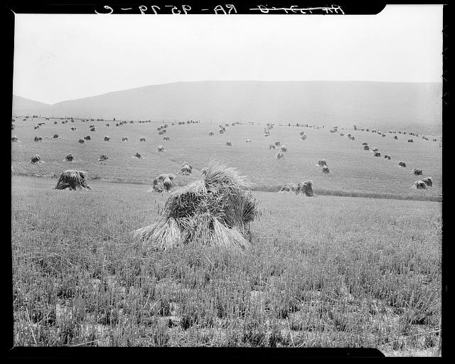 Virginia wheat. Vicinity of Sperryville