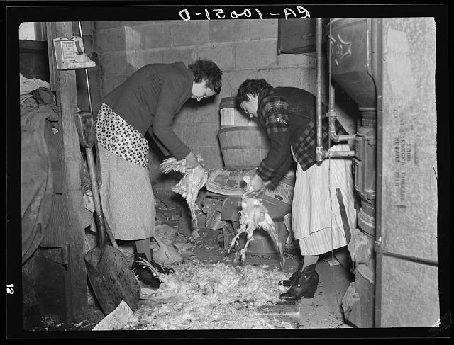 Wife of owner-operator and wife of hired hand clearing chickens in cellar preparatory to canning them. Chickens at this time of year are bringing six cents per pound. These are roasting. Harry Madsen farm, near Dickens, Iowa. Three hundred sixty acres, owner operated