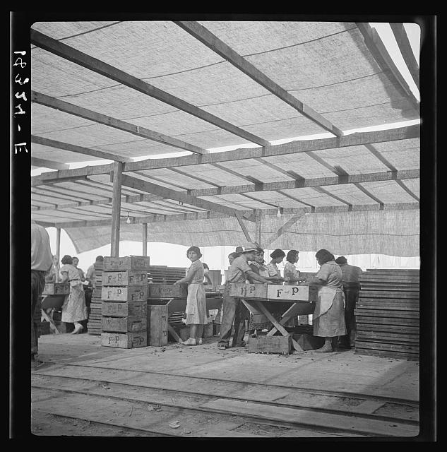 Women packing apricots in large open sheds adjoining the orchards. Brentwood, California