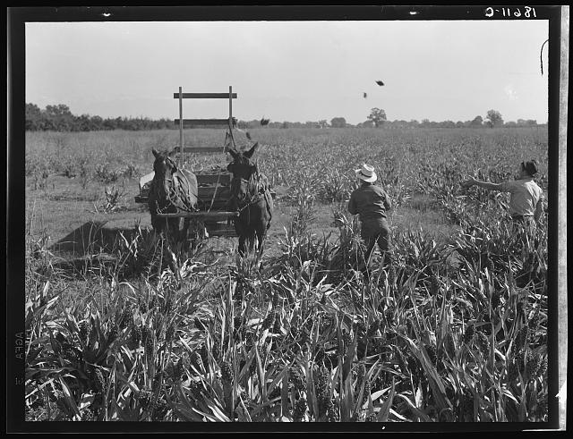 Harvesting milo maize, Tulare County, California. Cost of harvesting by this method totals ten dollars per acre. Cost of harvesting by cooperative harvester bought by Farm Security Administration (FSA) in this county, six dollars per acre