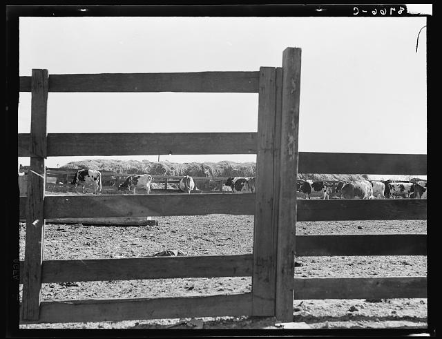 Near Manteca, California. Farm Security Administration (FSA) tenant purchase client's herd