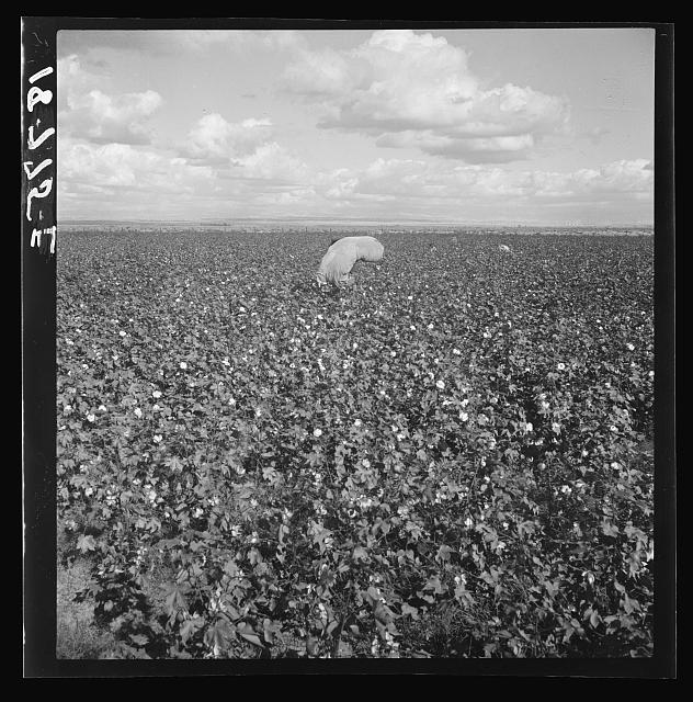 Migratory field workers picking cotton in the San Joaquin Valley, California. Negroes, Mexicans, and refugee whites pick cotton together in this field. These pickers are being paid seventy-five cents per one hundred pounds of picked cotton. Strikers, organizing under Congress of Industrial Organizations (CIO), are demanding one dollar